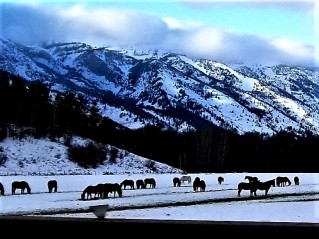horses grazing in the snow heading toward teton village from jackson hole